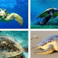 Черепахи «Каретта-каретта» острова Закинф в Греции